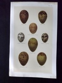 Seebohm 1896 Antique Bird Egg Print. Gulls 36